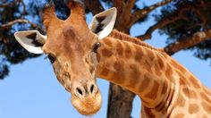 If you're wondering - why Facebook is full of giraffes.  Riddle responsible for long-necked profile pics