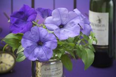 Petunia Evening Scentsation F1 - All-America Selections