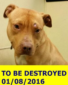 GONE 1/8/2015 --- Brooklyn Center LOLA – A1061294  **DOH HOLD  12/23/15**  SPAYED FEMALE, TAN / WHITE, PIT BULL MIX, 2 yrs OWNER SUR – ONHOLDHERE, HOLD FOR DOH-B Reason BITEPEOPLE Intake condition UNSPECIFIE Intake Date 12/23/2015 http://nycdogs.urgentpodr.org/lola-a1061294/