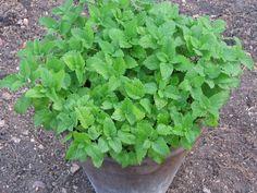 Αυτά είναι τα 8 φυτα που διώχνουν τα κουνουπια μακριά! Agriculture, Diy Tutorial, Herbs, Vegetables, Spring, Garden, Plants, Food, Tips