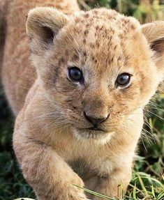 Lion And Lioness, Lion Cub, Lovers Photos, Unique Animals, Little Pets, Jungle Animals, Big Cats, Pet Birds, Cubs