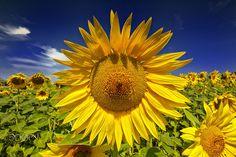 Sunflowers - Sunflowers, Dandelion, Plants, Dandelions, Planters, Plant, Planting