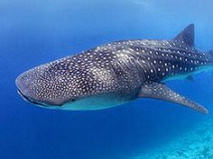 Shiny belize barrier reef Figures, belize barrier reef and how to spot a whale shark in the barrier reef 51 belize barrier reef fun facts Underwater Creatures, Ocean Creatures, Underwater World, Animals Beautiful, Cute Animals, Belize Barrier Reef, Swimming With Whale Sharks, Shark Fish, Fish Ocean