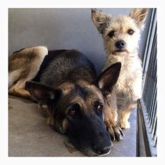 * ADOPTED TOGETHER! ** Heartbroken friends surrendered to animal control. Super high-kill shelter in San Bernardino, CA. Please read the details in the article and share far and wide. German Shepherd Dogs, German Shepherds, Animal Rescue Site, Animal Control, Illustrations And Posters, Animal Shelter, Pet Adoption, Terrier, Dog Cat