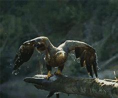 Animated Photo ~ Eagle