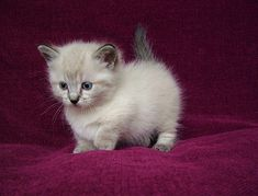 This is a Munchkin Cat and he loves you ;)