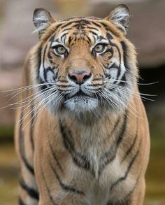 Unique Animals, Large Animals, Nature Animals, Animals And Pets, Cute Animals, Beautiful Cats, Animals Beautiful, Big Cats, Cats And Kittens