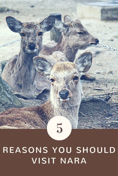 Nara, less than an hour away from Kyoto and Osaka is a great place to visit on a day trip. Find out the five reasons you should visit Nara during your trip to Japan.