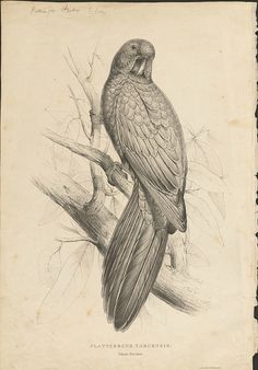 Tabuan Parakeet lithograph from Lear's Parrots