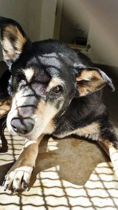 Beautiful MAXINE is 18 years old and stuck in the shelter on a very hot day in California. She needs help now. Please take a look at this sweet lady and SHARE, the shelter is full and she doesn't have much time. Thanks!  #A4753244 I'm an approximately 18 year old female germ shepherd.  https://www.facebook.com/171850219654287/photos/pb.171850219654287.-2207520000.1410131130./304642163041758/?type=3&theater