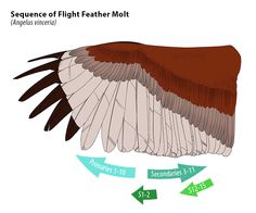 Flight Feather Molt Sequence (A.vinceria) by squidlifecrisis
