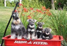Miniature Schnauzer puppies in a Radio Flyer wagon.