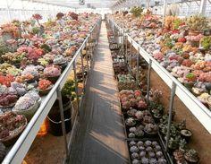 #succulent #Echeveria #sedum #agavoides #lithops #aeonium #haworthia #多肉植物 #多肉 #サボテン #pot #韓國多肉 #청주다육 #다육식물 #선인장 #succulents #greenhouse #다육이 #LED