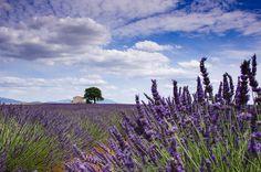 Lavendel auf dem Plateau de Valensole