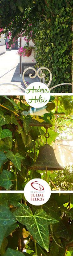 Famiglia delle  Aralioideae , questa Hedera Helix si presenta con foglie eleganti e tutte della stessa forma , 5 lobi, con lunghezza massima di 10 cm  e di colore verde scuro. Questo tipo di varietà genera foglie anche verde tendente al giallo (sempre omogeneo) e si alternano in modo equilibrato con le foglie in verde scuro. #Hedera Helix è una pianta che può arrivare ad arrampicarsi fino a 30 m di altezza.