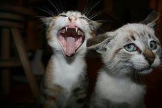 Gato - ooopss qué mal canta!
