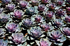 Orange County Succulents   Forever Blooming (Echeveria Perle Von Nernberg)