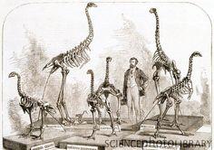 moa skeletons