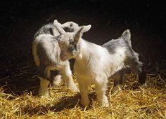 Cute baby goats - Pixdaus