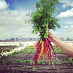 Carrots from one of our favorite projects: Brooklyn grange! : Carrots from one of our favorite projects: Brooklyn grange! Urban Agriculture, Urban Farming, Organic Gardening, Gardening Tips, Urban Gardening, Flower Garden Plans, Edible Garden, Balcony Garden, Garden Planning
