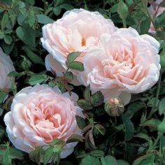 Lochinvar - David Austin Roses. Scent~Light. Scottish Rose.small flowers 1.5inch.thorny,bushy.flowers continually completely disease free. 4x3ft