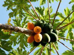 Plantação de árvores frutíferas - a formação do pomar - Artigos sobre Fruticultura