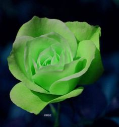 Green Rose called (Jade)
