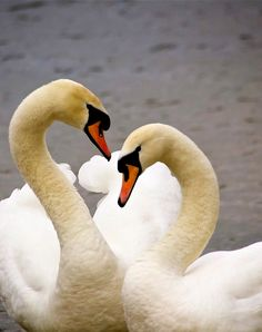Swans shape of the body in the connection with another one shows beautiful natural heart. Swans always love and are loved. Swan Love, Beautiful Swan, Beautiful Birds, Aquatic Birds, All Birds, Nature Pictures, Bird Feathers, Beautiful Creatures, Cute Animals
