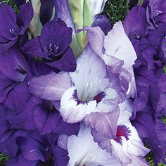 Summer Blooming: Jung Seed Company Gladiolus, Annual Plants, Perennials, Seeds, Bloom, Vegetables, Summer, Flowers, Summer Time