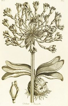 Delicate Amaryllis - Amaryllis orientalis. Illustration from John Hill's 'Exotic botany illustrated........' - Plate 10, 1759. © The Trustees of the Royal Botanic Gardens, Kew
