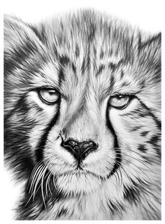 Official website and online shop of International wildlife artist Richard Symonds. You can buy here limited edition prints of his wildlife fine art. Animal Sketches, Animal Drawings, Art Drawings, Wildlife Paintings, Wildlife Art, Amazing Drawings, Realistic Drawings, Cheetah Drawing, African Cats