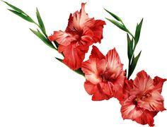 """The birth flower for is the gladiolus, named after gladiators for their sword-like shape. is the flower of strength and courage, as well as for sincerity. Gladiolus means """"Love at first sight"""". Larkspur Tattoo, Larkspur Flower, Gladioli, Flower Backgrounds, Flower Wallpaper, Flower Images, Flower Art, Gladiolus Flower Tattoos, December Birth Flower"""