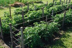 Tomato Support Cages
