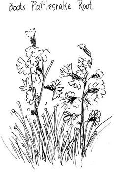 The line art drawing of the boots ratlesnake root is really gorgeous. I love the shape of the flowers and the plant in general