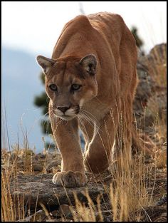 The Mountain Lion has always been my very favorite of the 'big' cats. Big Cats, Cool Cats, Cats And Kittens, Beautiful Cats, Animals Beautiful, Cute Animals, Wild Animals, Beautiful Poetry, Animals Images