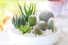 Mini Cactus Gardens -     In this video, Christine Kobzeff presents two lovely mini cactus garden options (plus we really like her shirt). These make for easy do-it-yourself projects that add a bit of green to small spaces such as …