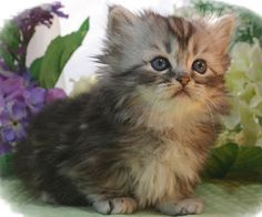Munchkin Kitten, Want one of these someday. And there is a breeder in Burlington!