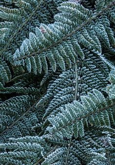 Frosted Ferns by Geoffrey Shuen