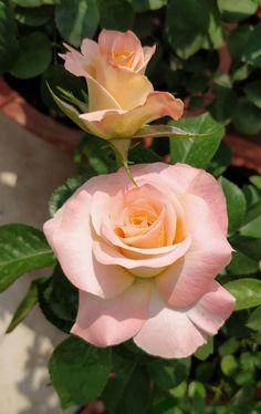 สีหวาน Beautiful Flowers Wallpapers, Beautiful Rose Flowers, Amazing Flowers, Pretty Flowers, Lavender Roses, Pink Roses, Virtual Flowers, Coming Up Roses, Bulb Flowers