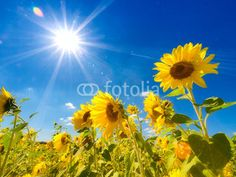 Find Field Sunflowers Under Bright Sun stock images in HD and millions of other royalty-free stock photos, illustrations and vectors in the Shutterstock collection. Thousands of new, high-quality pictures added every day. Get What You Want, Did You Know, My Purpose In Life, Myers Briggs Personality Types, Fun Quizzes, Online Quizzes, Sunflower Fields, Proper Diet, Simple Way