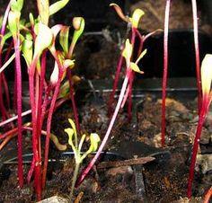 young beet seedlings