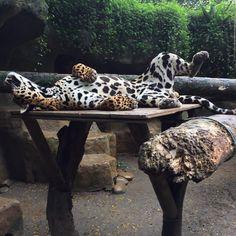 Otorongo, El Refugio's jaguar, stretches out.