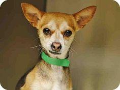 Phoenix, AZ - Chihuahua Mix. Meet TATUM, a dog for adoption. http://www.adoptapet.com/pet/13219537-phoenix-arizona-chihuahua-mix