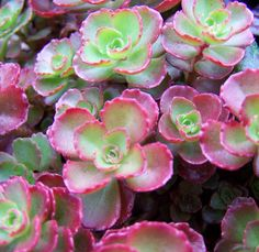 Sedum spurium Dragons Blood- succulents are a huge trend right now. They are gorgeous, low maintenance and cost effective.