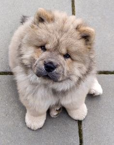 Chow Chow puppy. One day Bows will have a vanilla friend