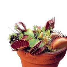 "Masožravá rostlina ""Venus""   Magnet 3Pagen #magnet3pagen #magnet3pagen_cz #magnet3pagencz #3pagen #flowers #dekoration"