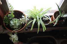 House plants. Spider plant. Succulents. Aloe Vera. Cacti. Kitchen plants. 8864d0187