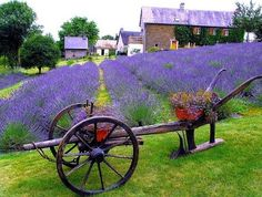 Project for next year: a lavender field