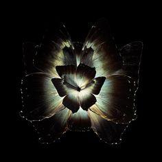 Mimesis – Quand les ailes de papillons deviennent des fleurs magnifiques (image)