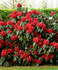 Rhododendron 'Taurus' - Fabulous evergreen shrub with stunning flowers in an intense red colour. The lovely leathery leaves are a shiny dark green. This is a very robust rhododendron variety that flowers in spring and can be planted in a pot. Garden Shrubs, Flowering Shrubs, Shade Garden, Garden Plants, Evergreen Shrubs, Trees And Shrubs, Trees To Plant, Bulb Flowers, Red Flowers